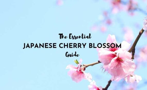 Japanese Cherry Blossom Guide