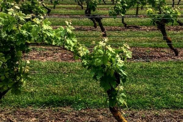 Mersea Island vineyard wine tasting