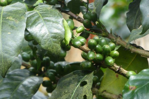 Coffee Finca Tour Jardin