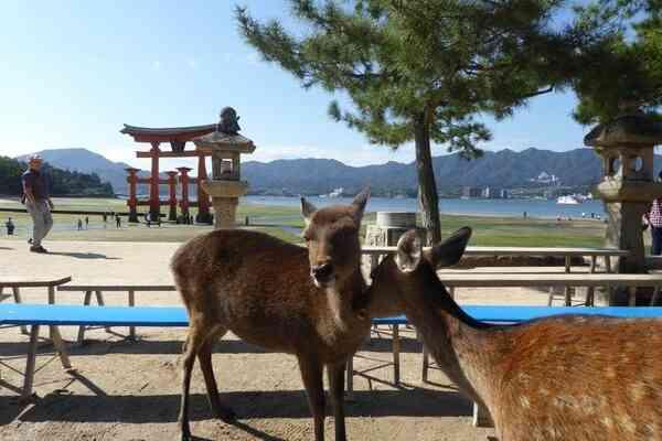 Visit with Whitetail Japanese Deer on Miyajima