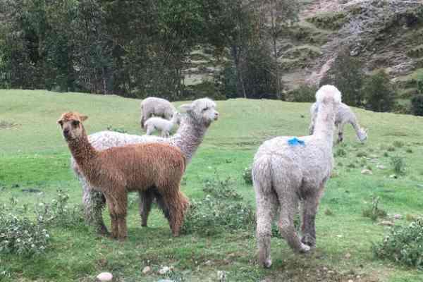 Llama en route to rainbow mountain