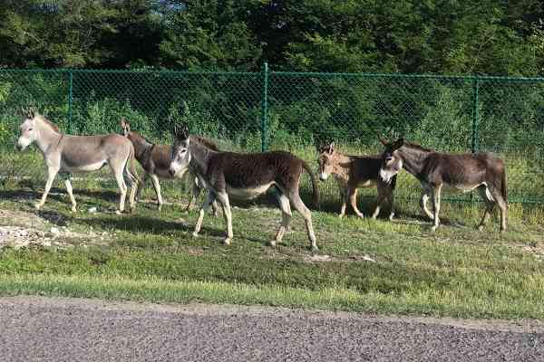 Wild Donkeys on Antigua